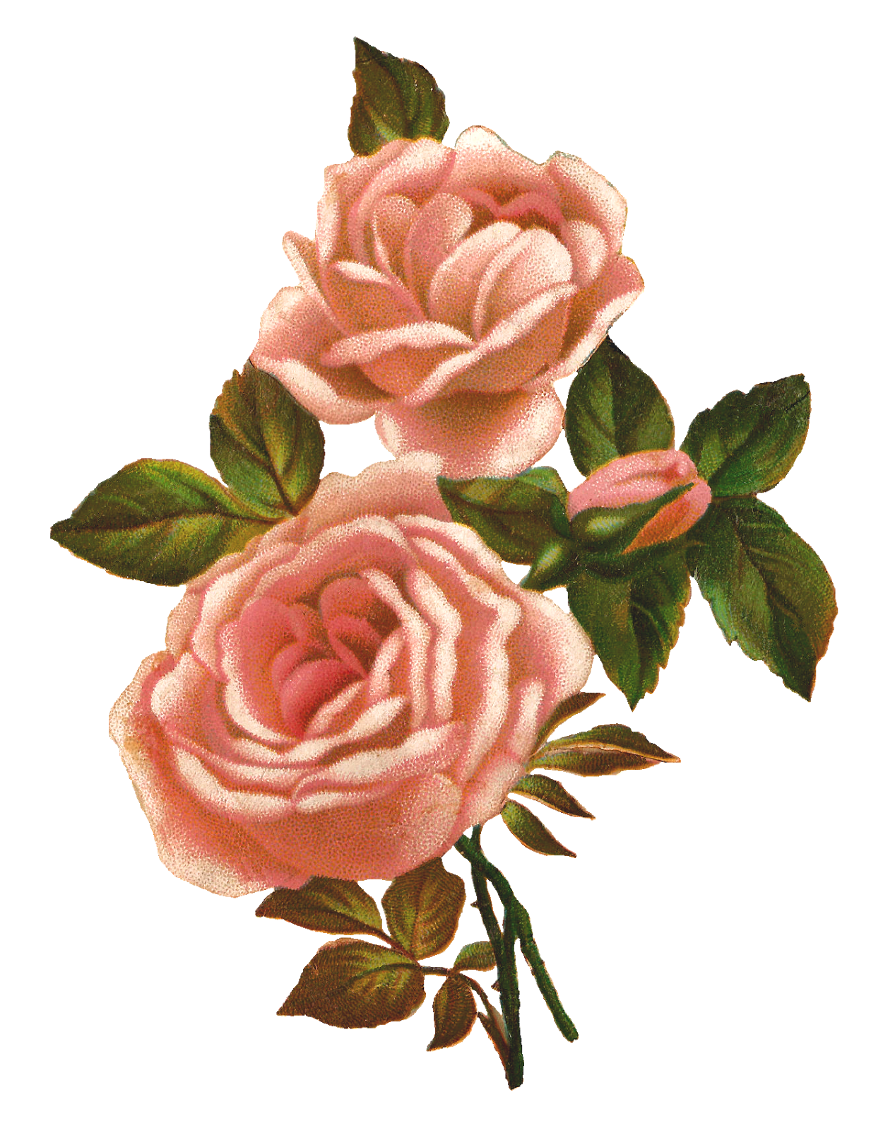 Clipart roses shabby chic. Antique images pink rose