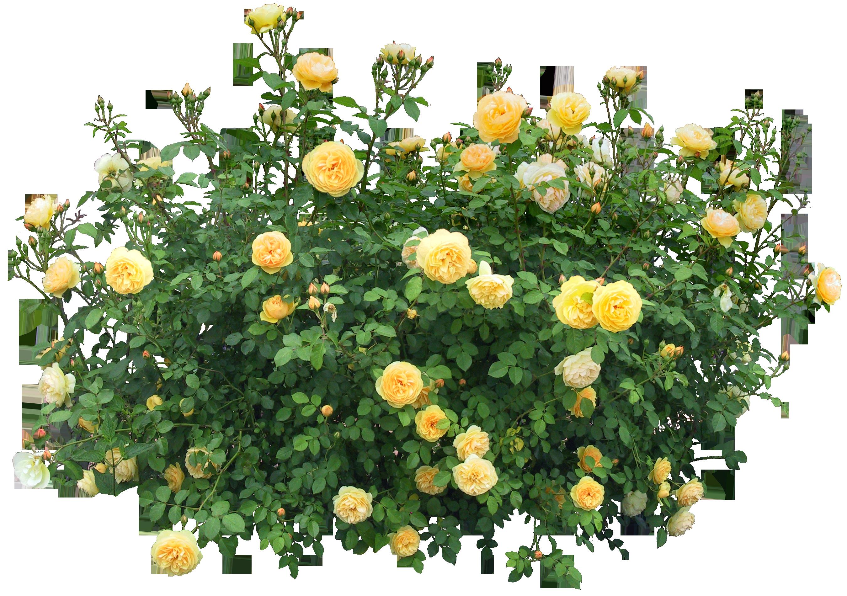 Clipart roses shrub. Flower rose clip art