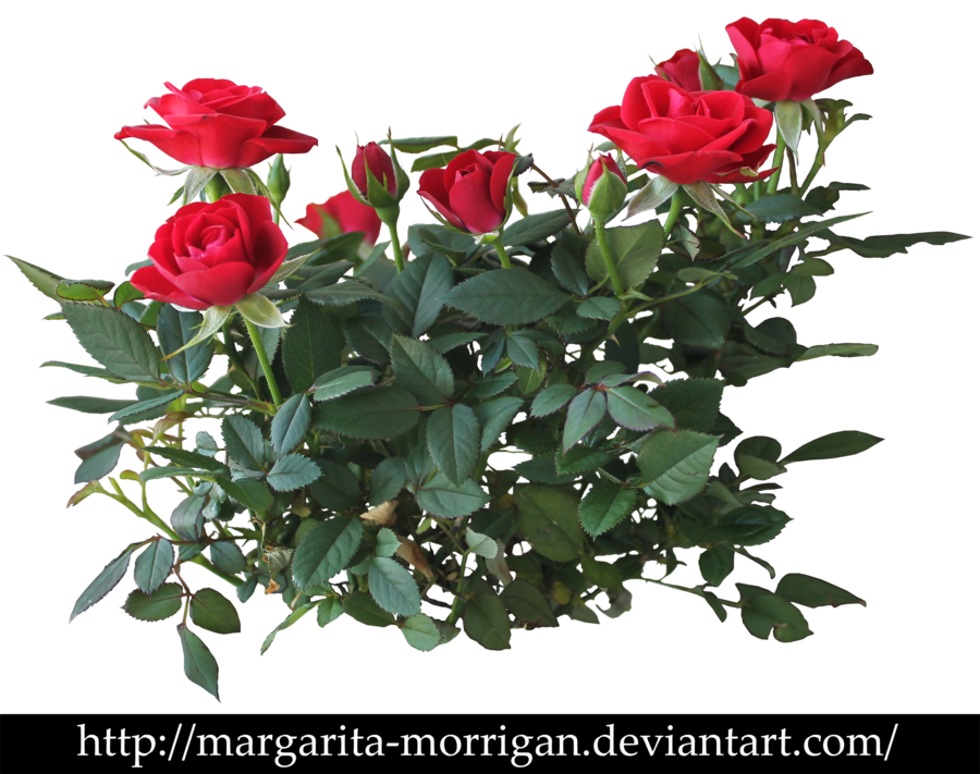 Roses by margarita morrigan. Rose clipart shrub
