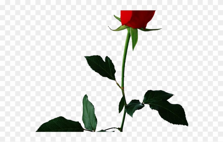 White rose valentine flower. Clipart roses single