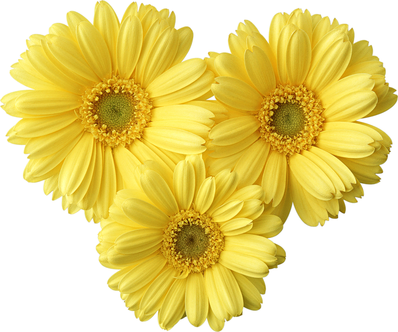 Yellow flower png. Gerbers daisy picture gallery