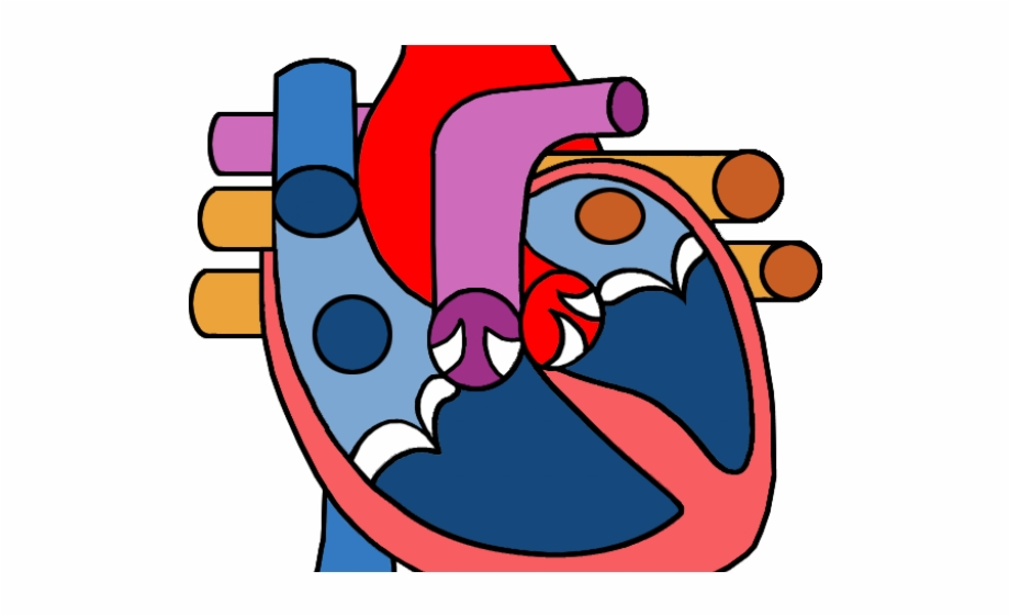 Heart circulatory system . Hearts clipart science