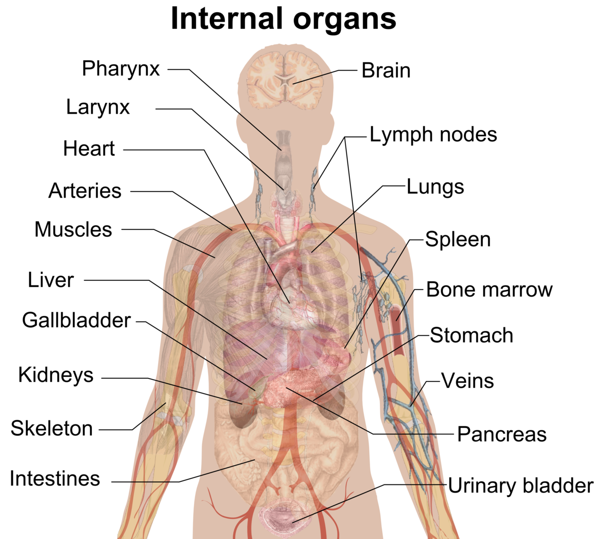 Humans clipart ribcage. Human body organs picture