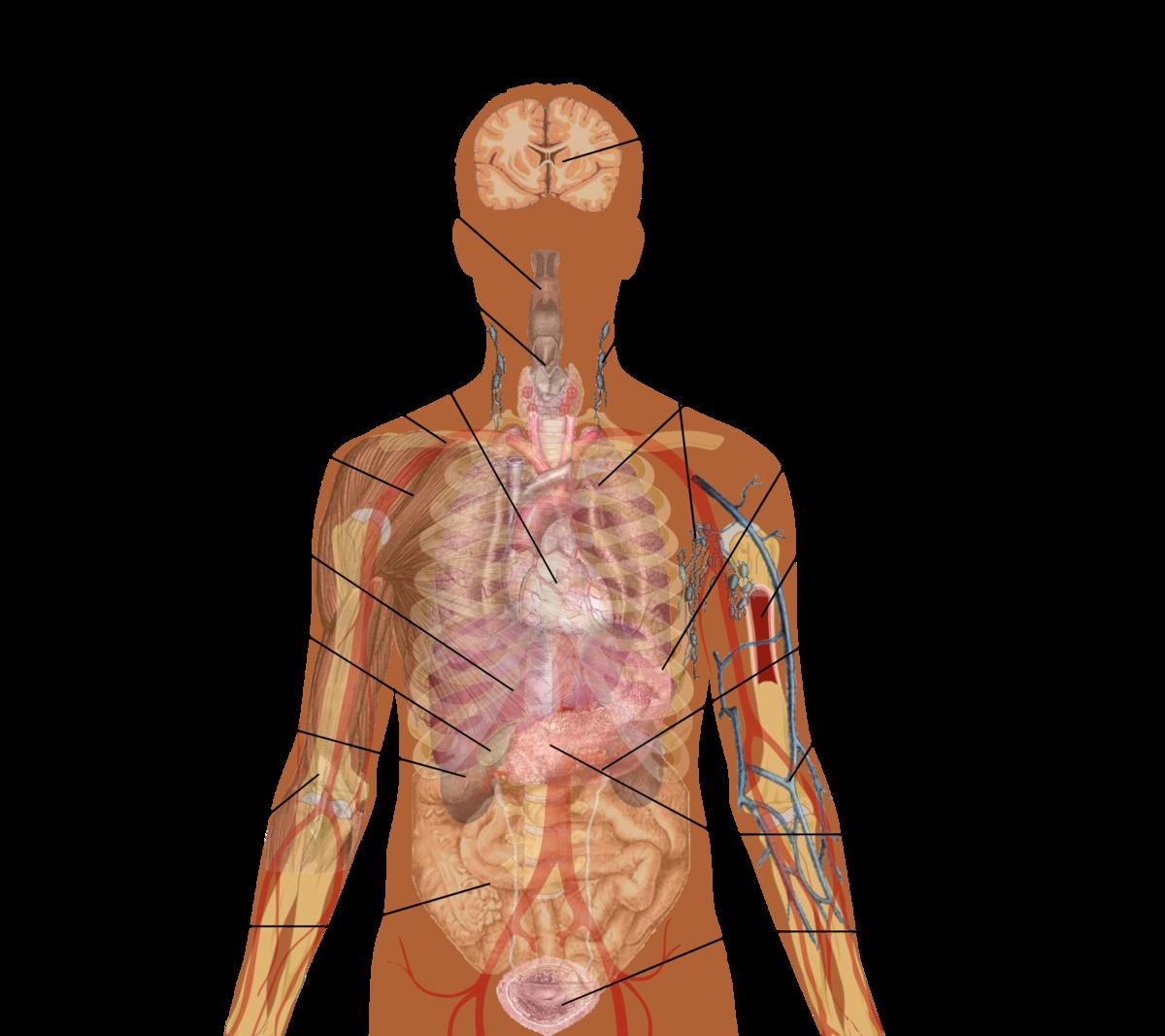 Human organs picture organ. Neck clipart body part