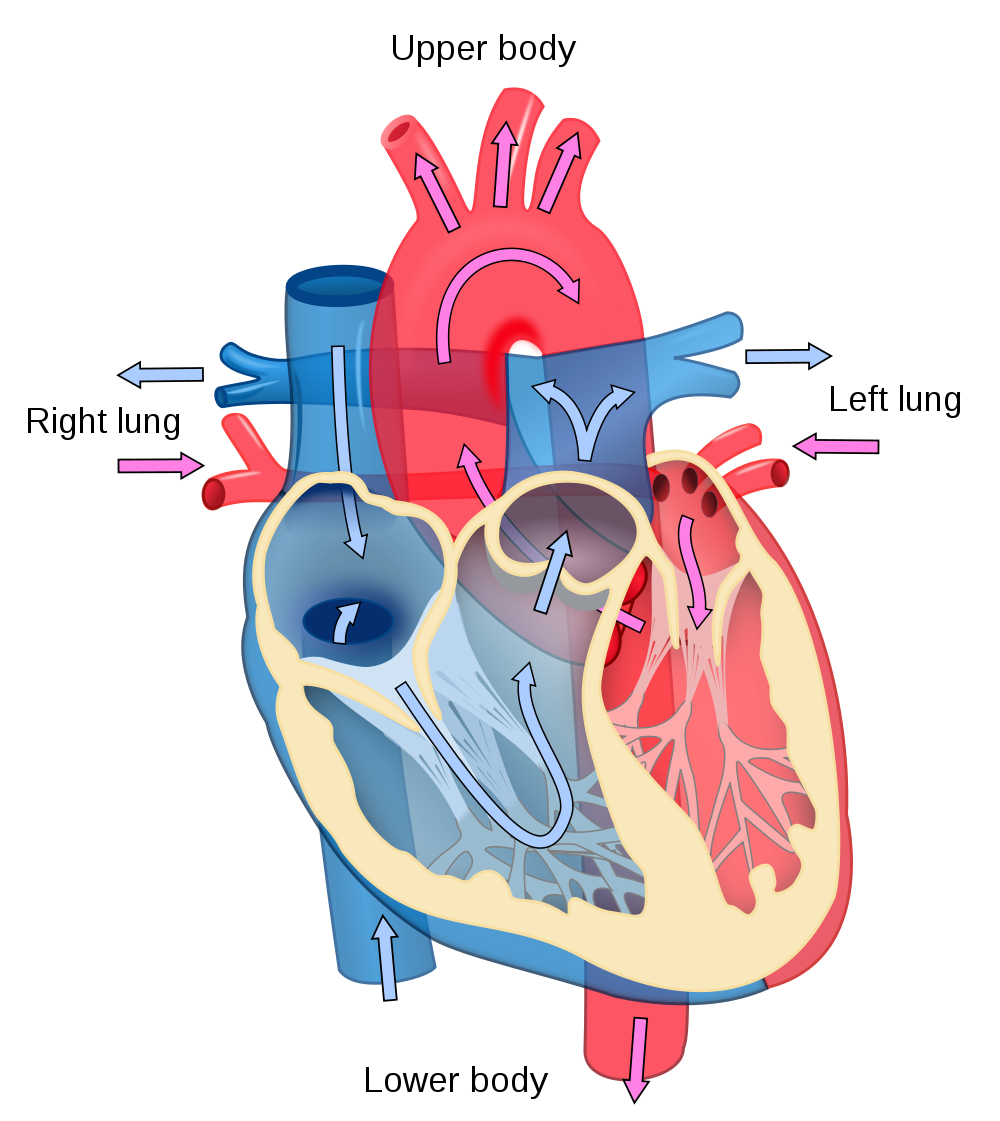 Heart diagram of the. Clipart science human body