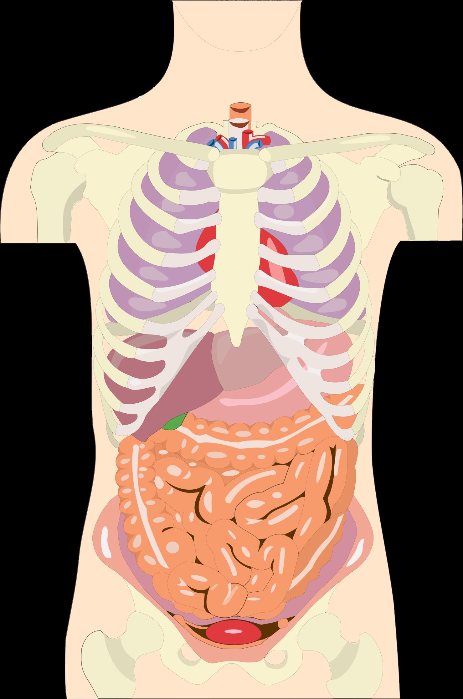 Clipart science organ. Human organs torso big
