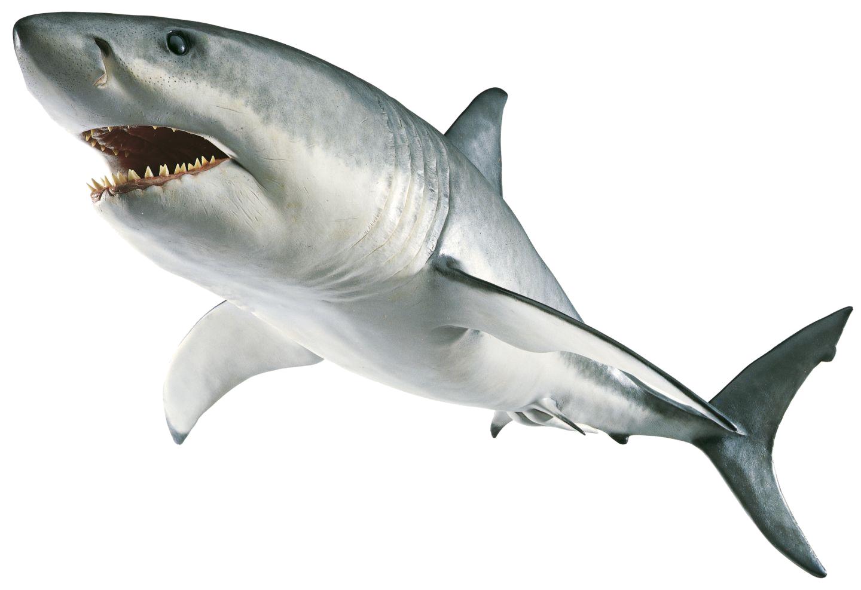 Clipart shark blacktip shark.  gif
