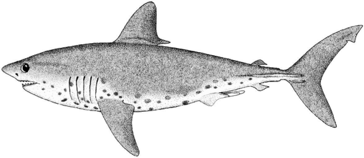Clipart shark blacktip shark. Oceanviewer salmon
