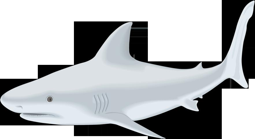Clipart shark bull shark. Fish png free download