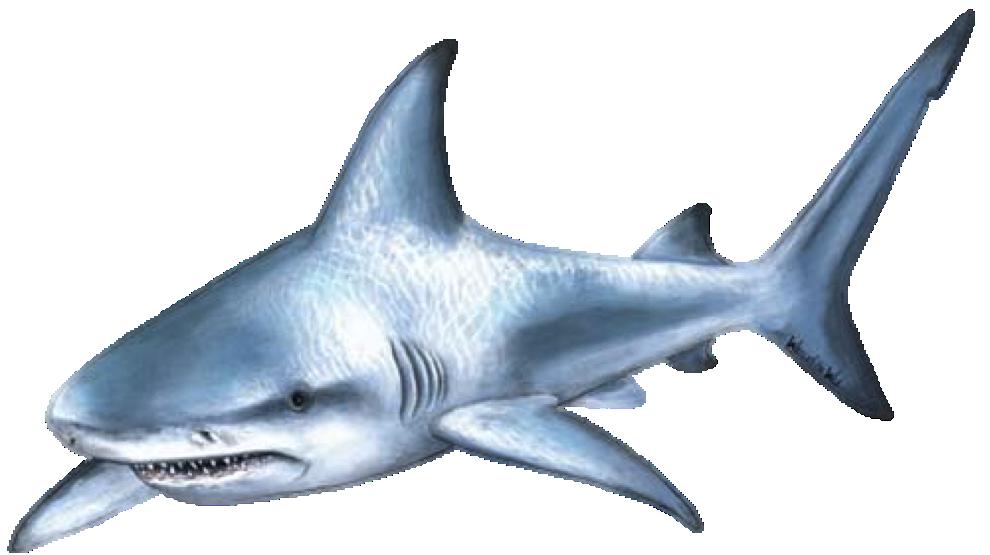 Clipart shark bull shark. Attack clip art cartoon