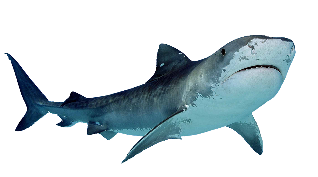 Clipart shark frilled shark. Collection of free elasmobranch