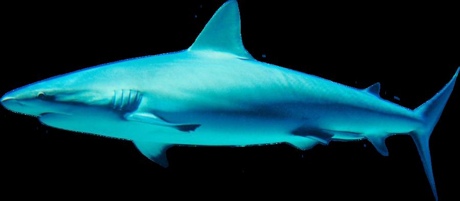 Clipart shark mako shark. Png