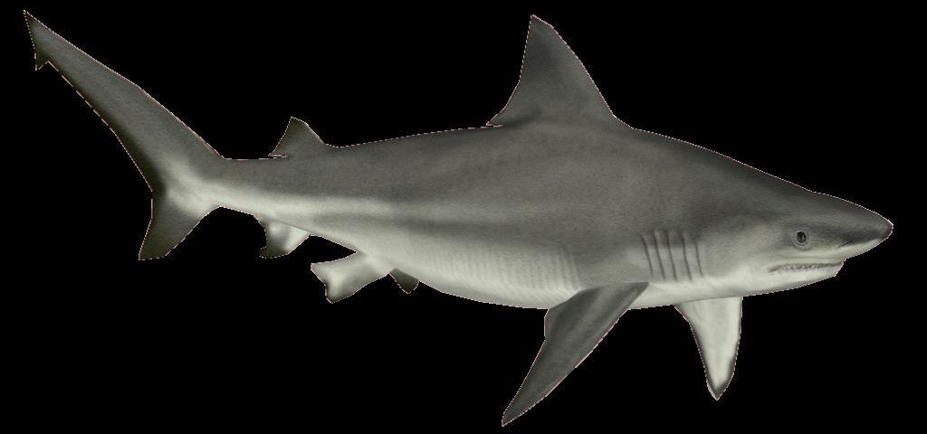 Png . Clipart shark mako shark