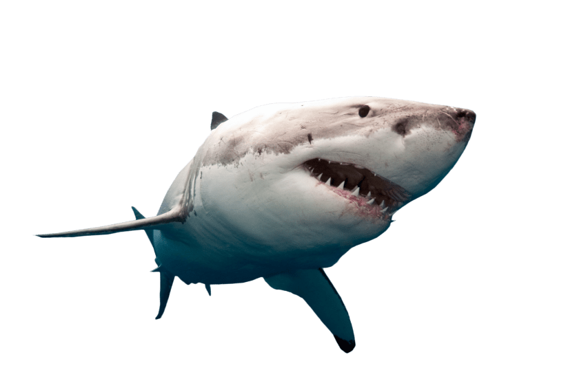 Png free images toppng. Clipart shark shark swimming