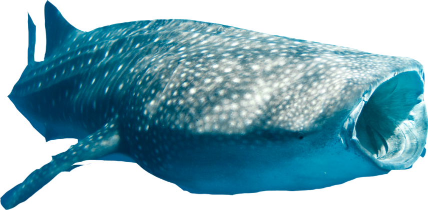 Clipart whale swim. With sharks exmouth shark