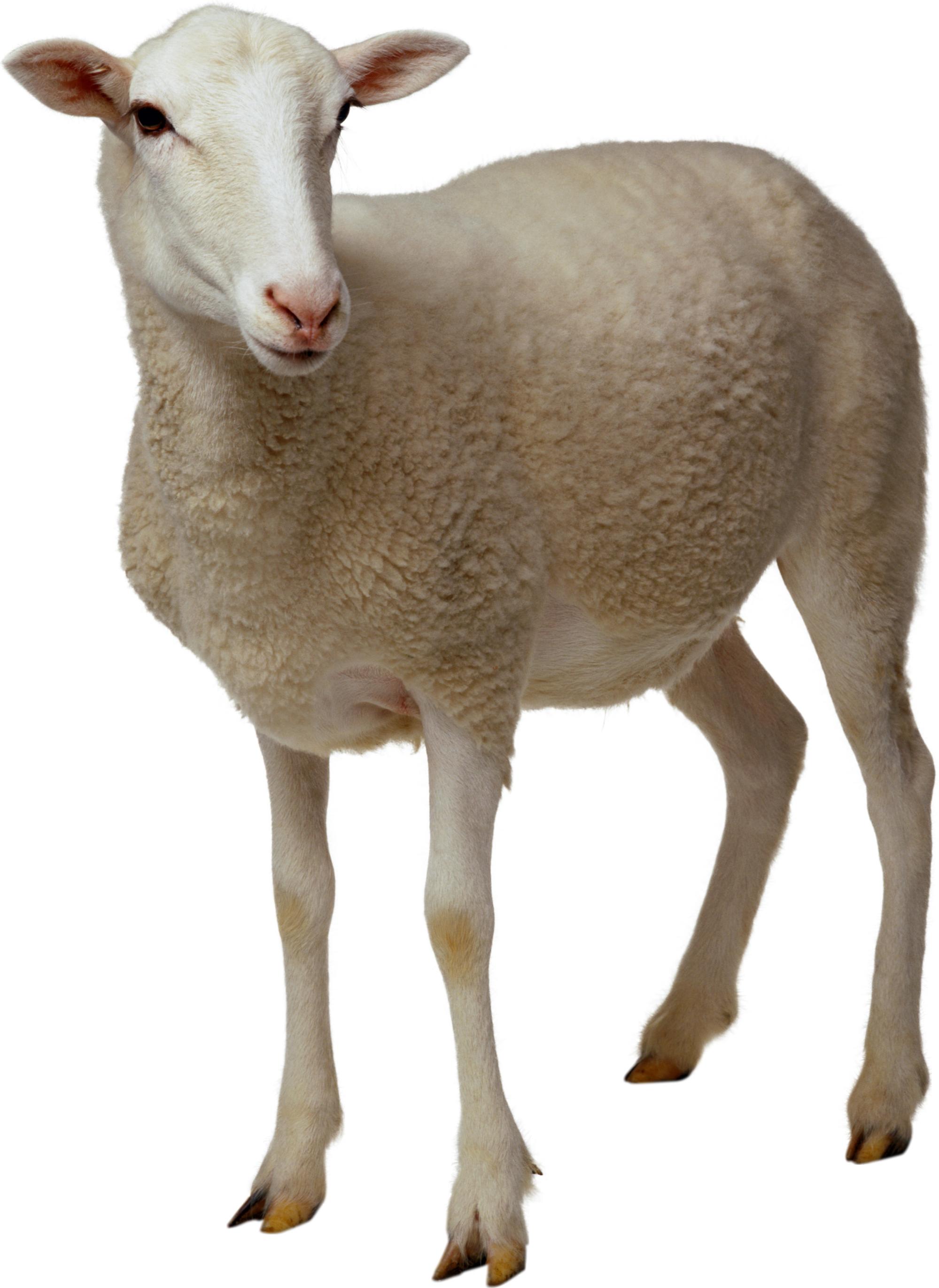 Anatomy google search all. Lamb clipart female sheep