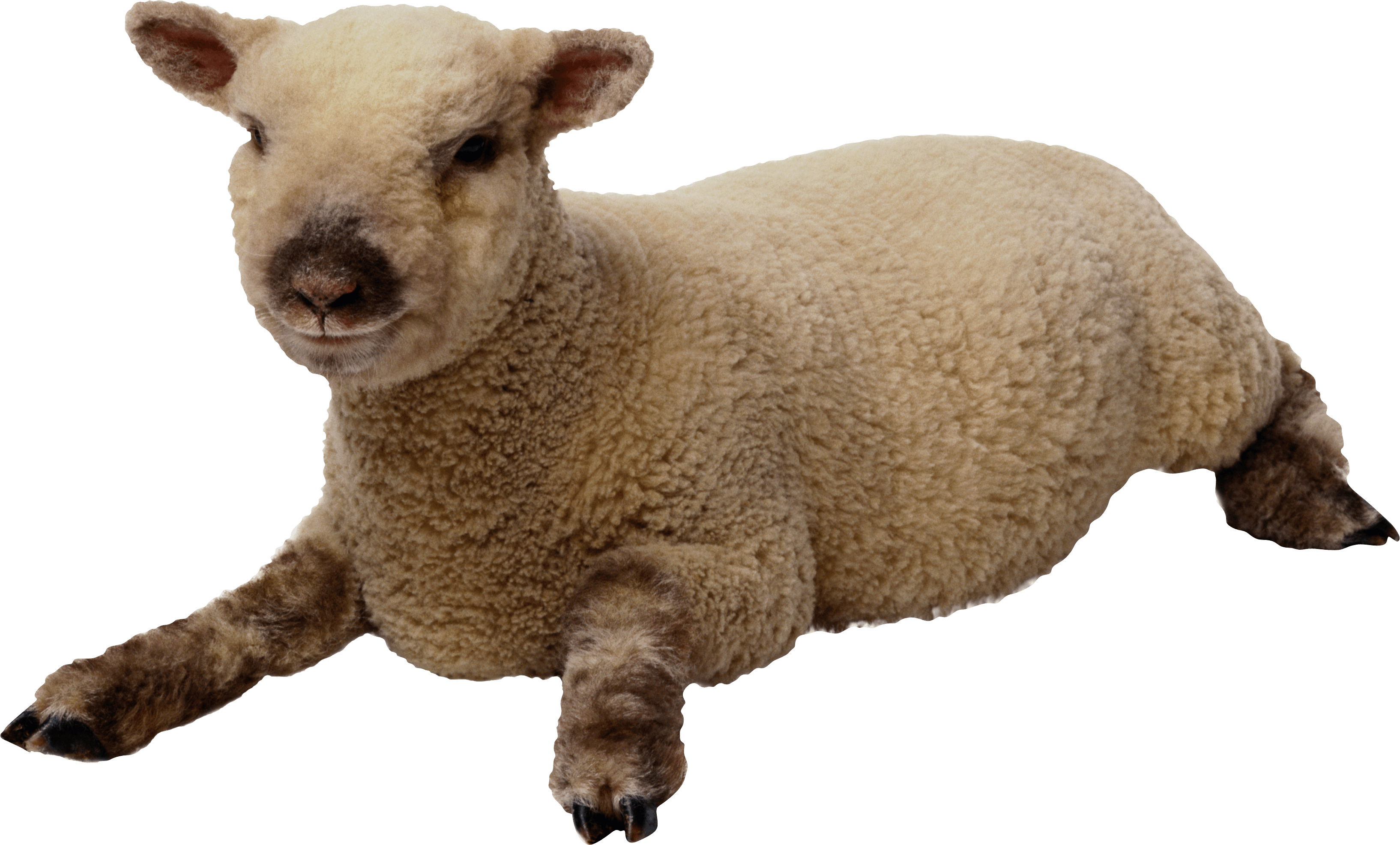 Clipart sheep brown sheep. Download free png transparent