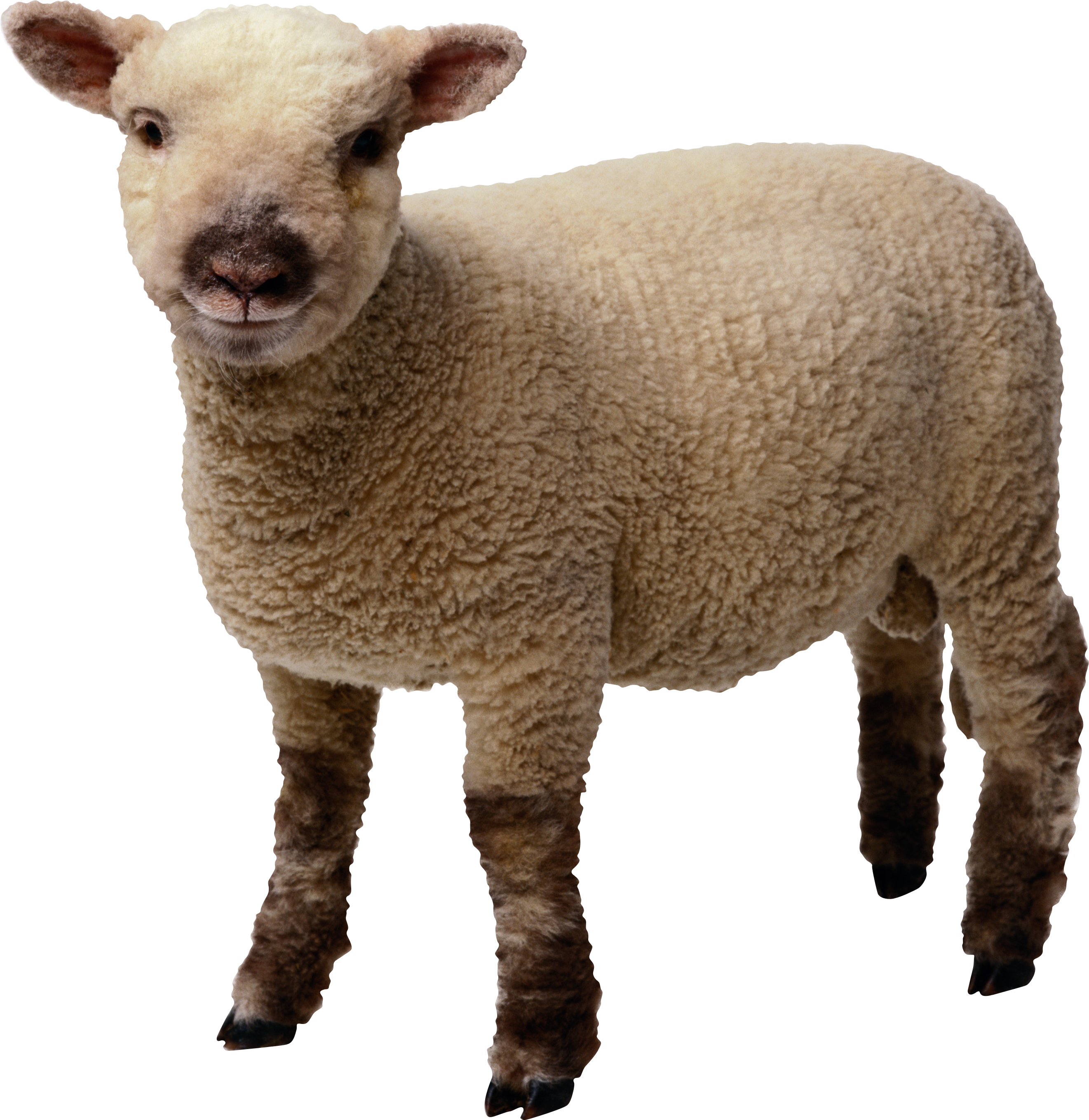 Clipart sheep brown sheep. Ten isolated stock photo