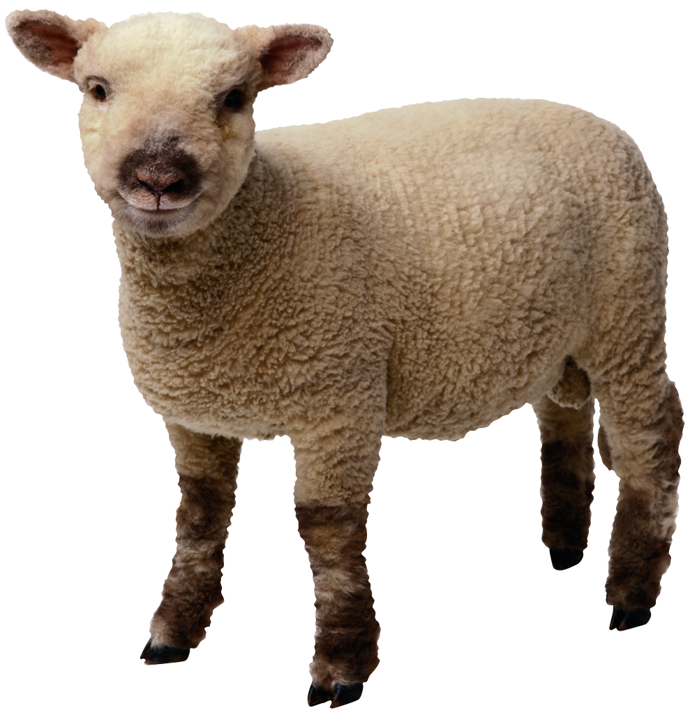 Transparent png pictures free. Lamb clipart sheep wool