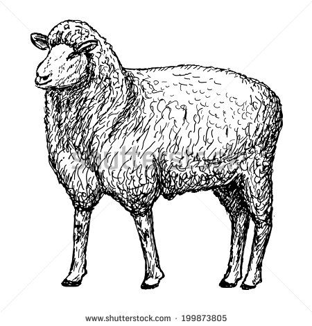 Sheep drawing images lambs. Lamb clipart realistic