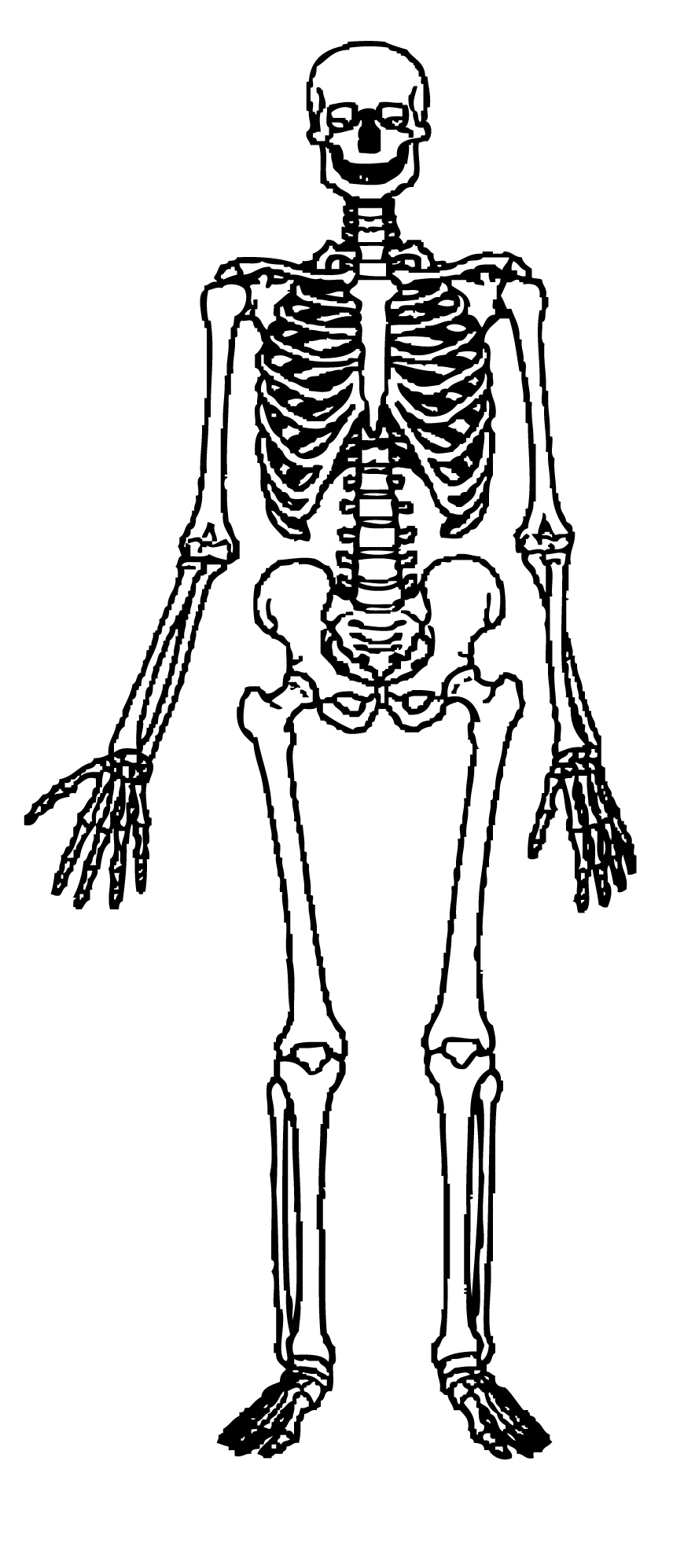 Free skeleton clip art. Bone clipart human biology