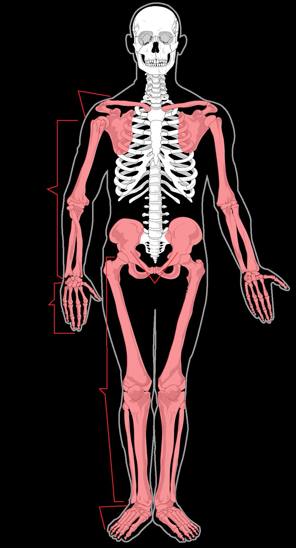 Excepcional labeled diagram elaboraci. Skeleton clipart body part