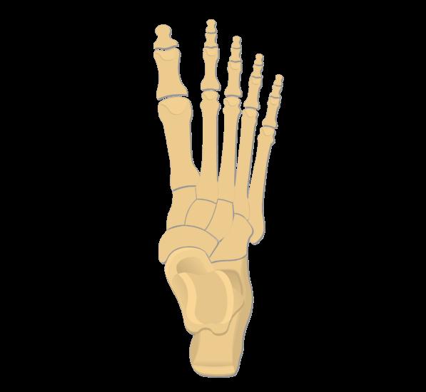 Tarsals tarsal bones anatomy. Foot clipart lower limb