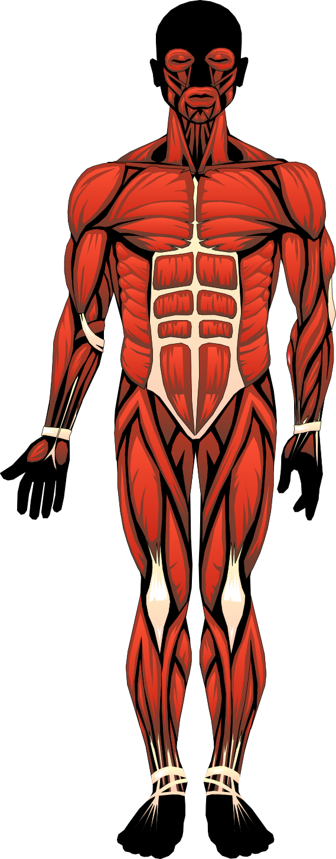 Bonito anatomy ideas anatom. Human clipart anatomical body