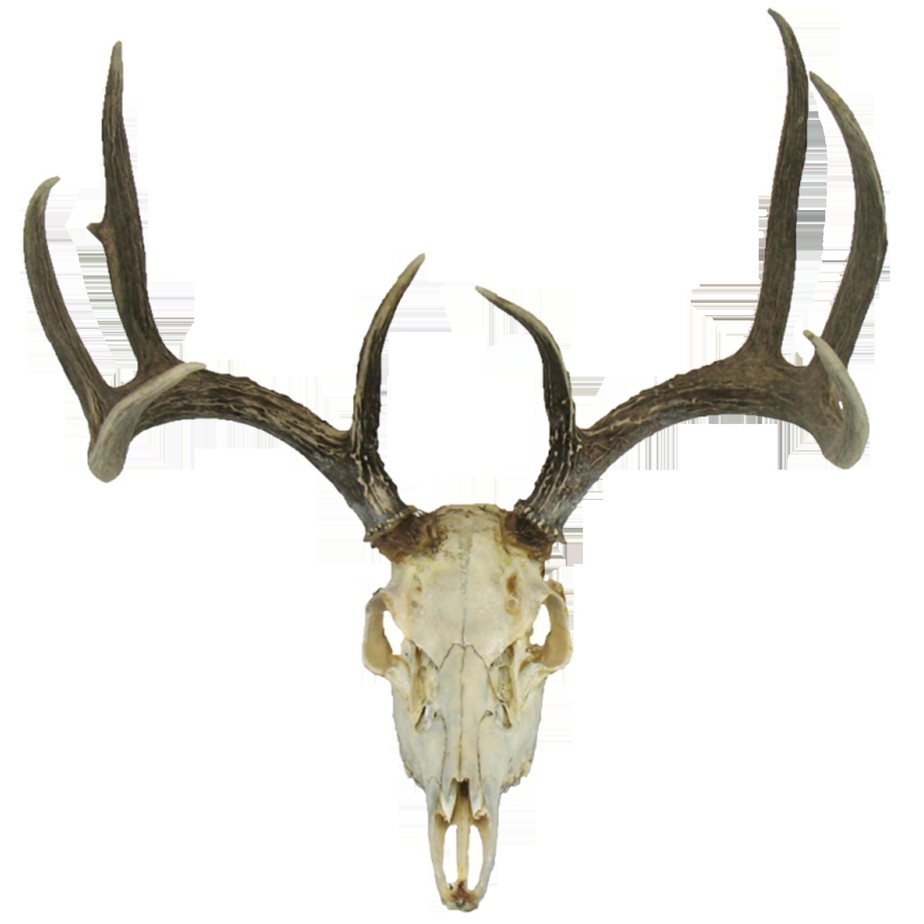 Deer google search survivor. Longhorn clipart animal skull