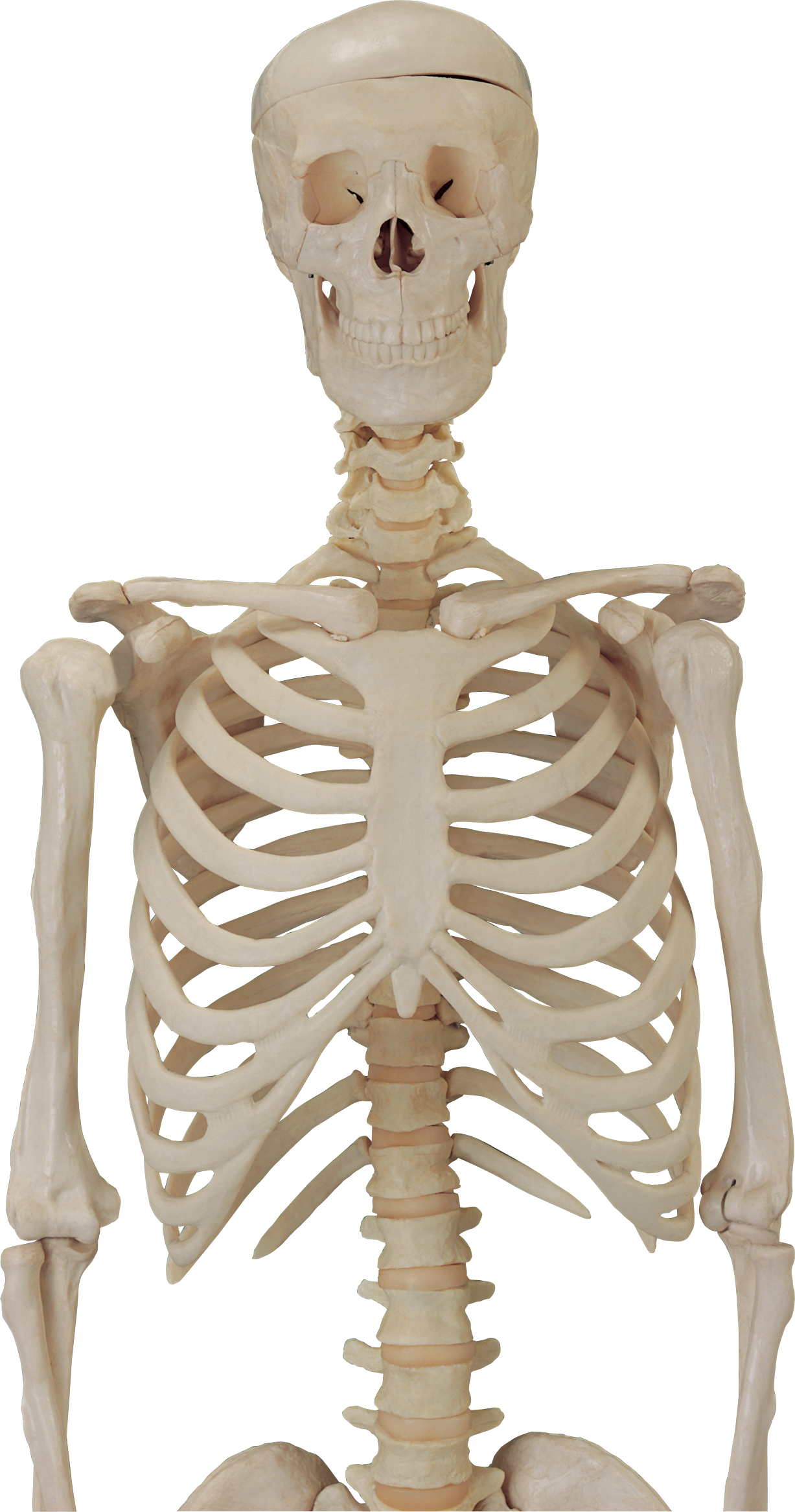 Human thirteen isolated stock. Pigs clipart skeleton