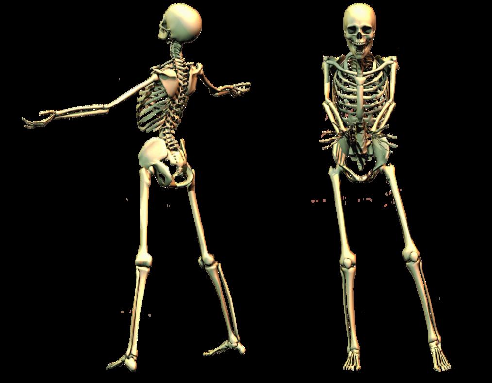 Skulls png images free. Skeleton clipart body part