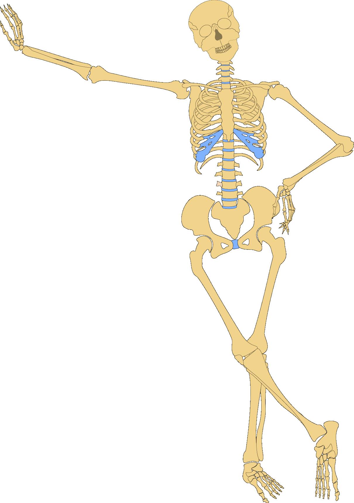 Skeleton bone skull clip. Humans clipart human anatomy