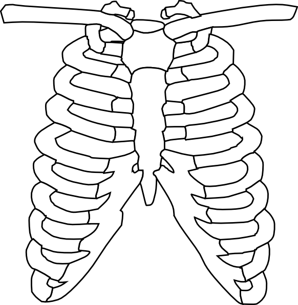 A p skeletal system. Human clipart ribcage