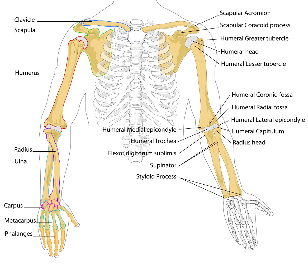 Elbow clipart left arm. File human bones diagram