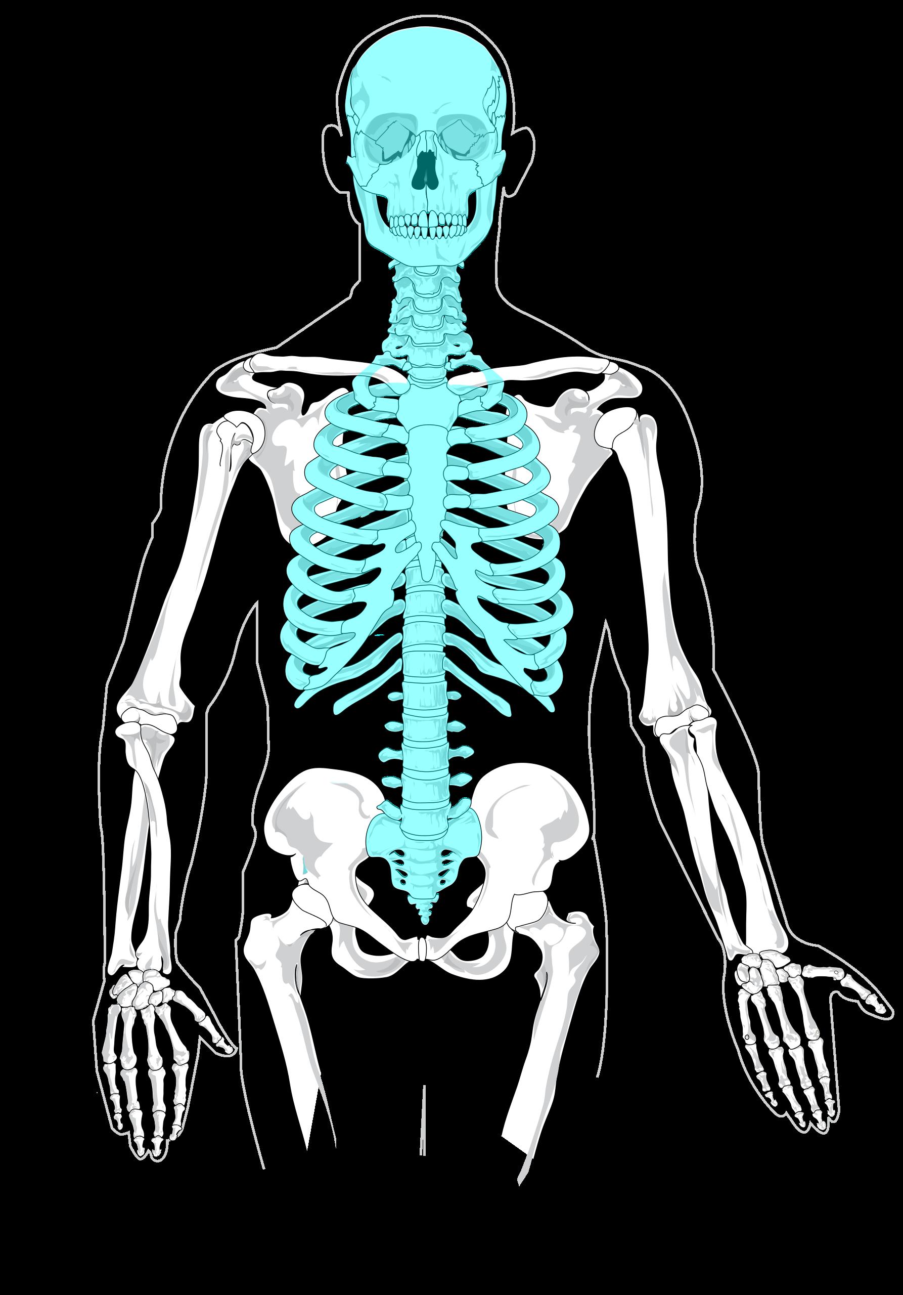 Xray clipart skeleton rib cage. File axial diagram blank