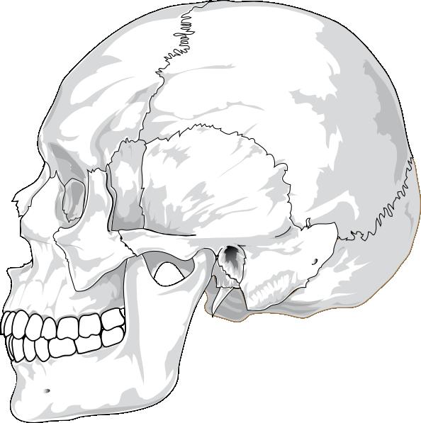Human skull side view. Skeleton clipart unlabelled