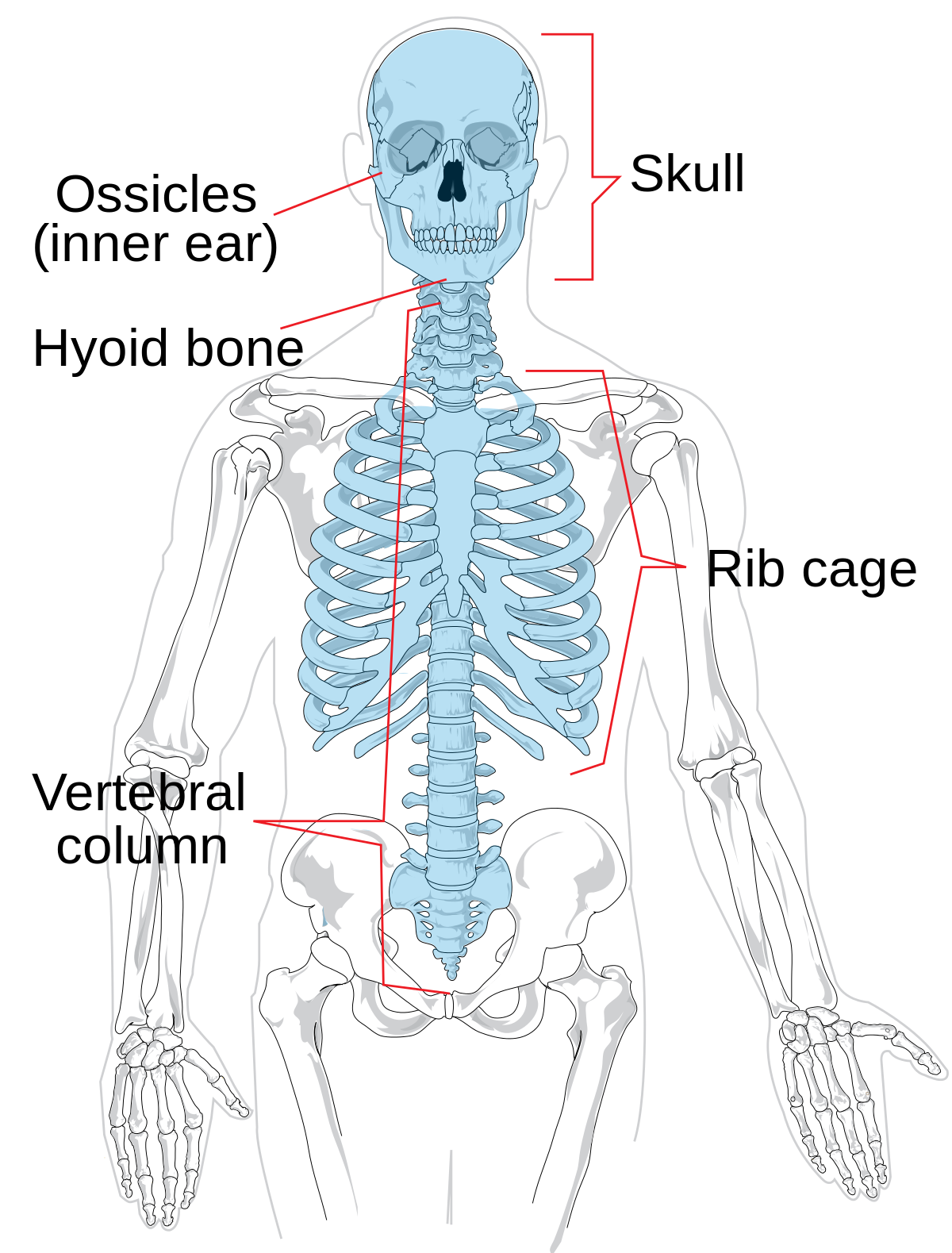 Axial skeleton wikipedia . Human clipart ribcage
