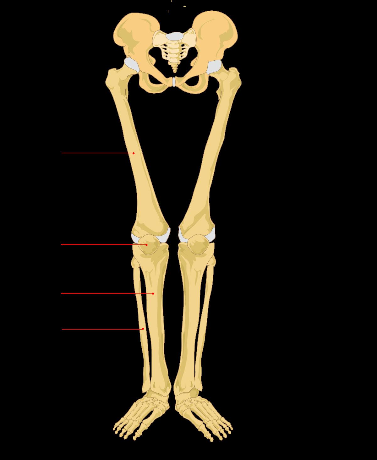Skeleton skeleton leg