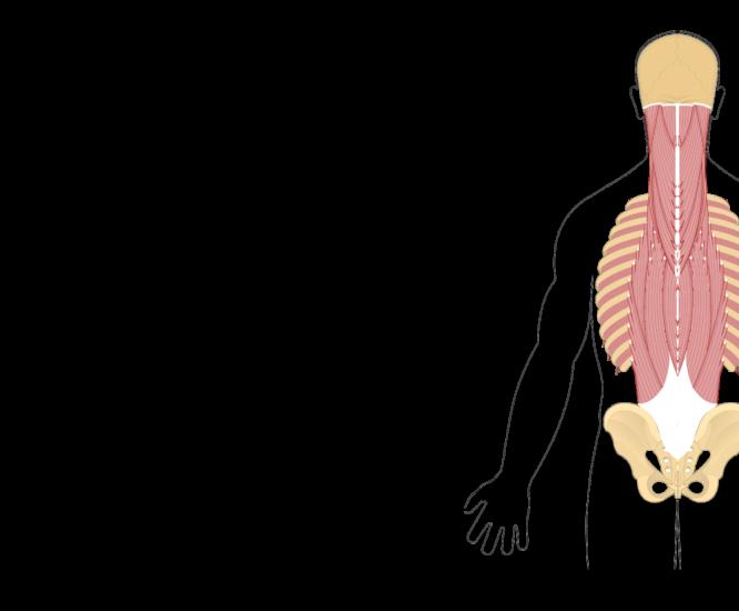 Skeleton clipart unlabelled. Iliocostalis cervicis muscle image