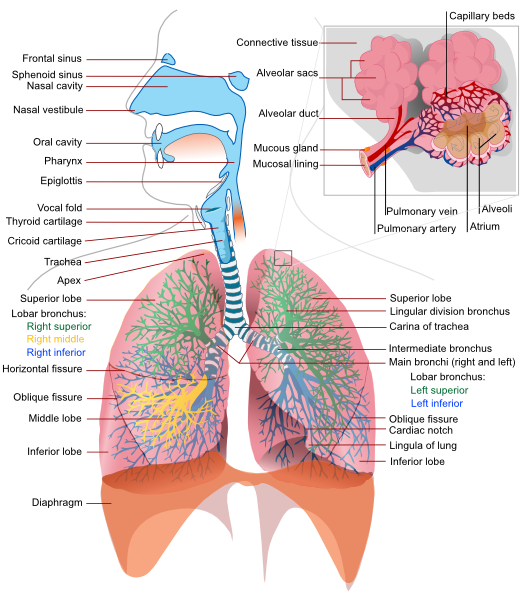 Lungs clipart respiration. Respiratory system complete en