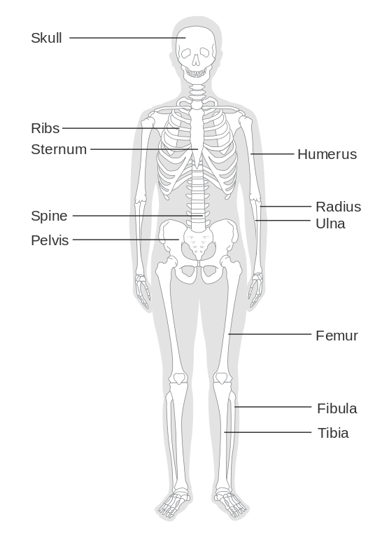 Fancy human diagram unlabeled. Skeleton clipart unlabelled