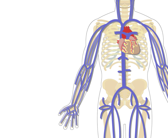 Skeleton clipart unlabelled. The major systemic veins