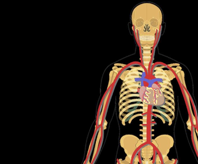 Major systemic arteries image. Skeleton clipart unlabelled