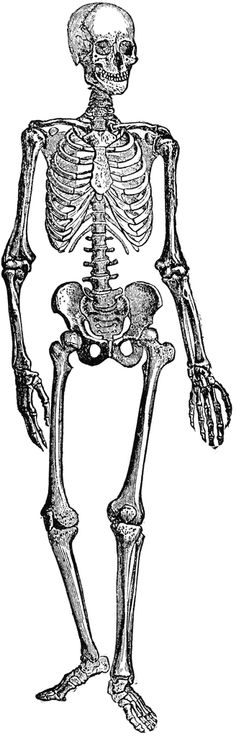 Skeleton clipart vintage skeleton. Free clip art download