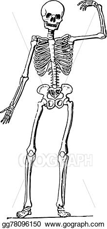 Eps vector human anatomy. Skeleton clipart vintage skeleton