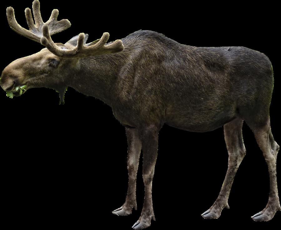 moose clipart file