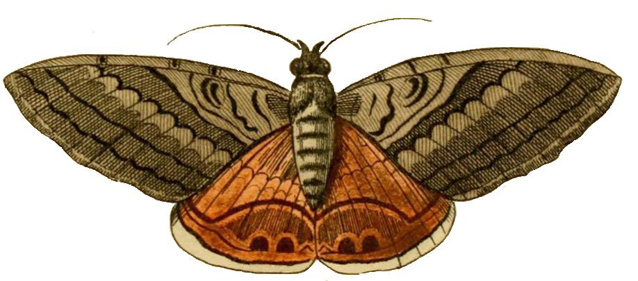 moth clipart buttefly