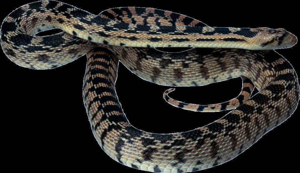 Clipart snake ajgar. Vipers reptile clip art