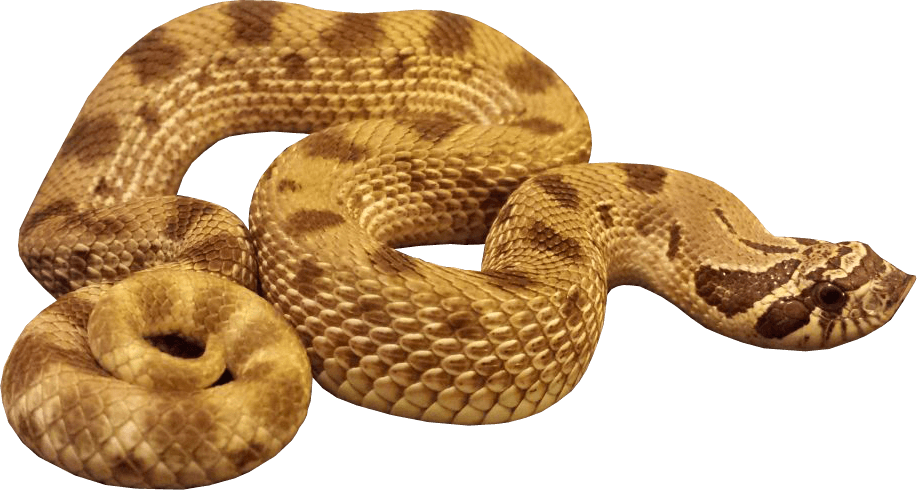 Cobra clipart anaconda. Snake transparent png stickpng