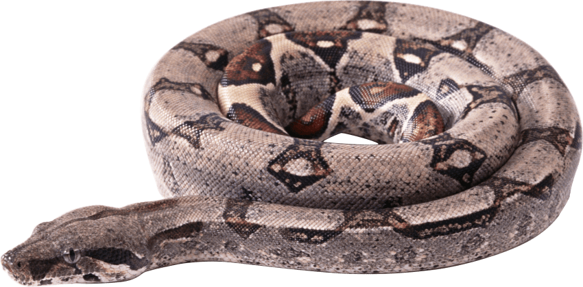 Curling png free images. Snake clipart boa constrictor